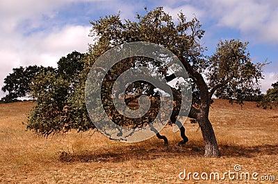 Poetic Oak