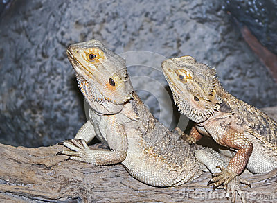 A Pogona Pair, Commonly Known as Bearded Dragons