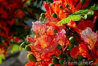 Poinciana flowers 4