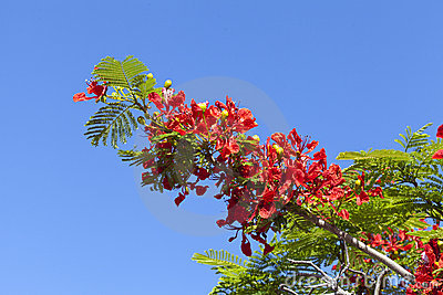 Poinciana Tree Flowers