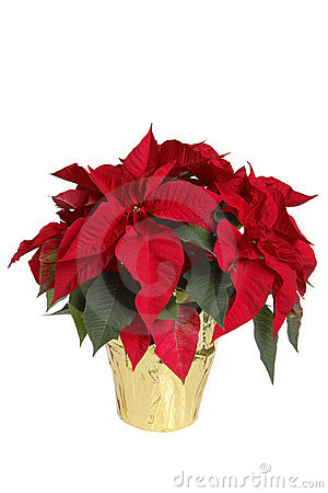 Free Poinsettia Royalty Free Stock Images - 1655569