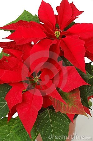 Free Poinsettia Royalty Free Stock Photos - 2750998