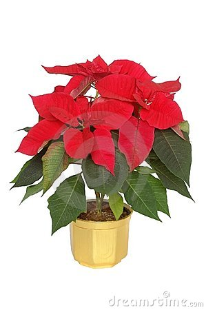 Free Poinsettia Royalty Free Stock Images - 602569