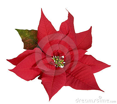 Free Poinsettia Stock Photos - 6290733