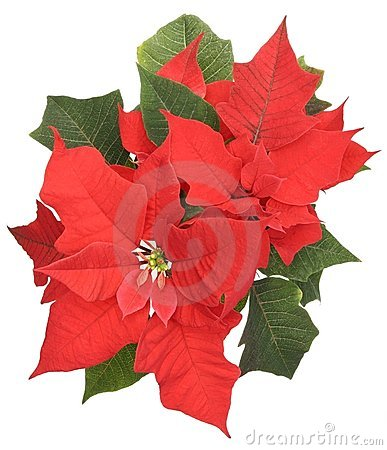 Free Poinsettia Stock Photos - 7464923