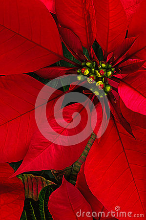 Free Poinsettia Flower Royalty Free Stock Photography - 35687257