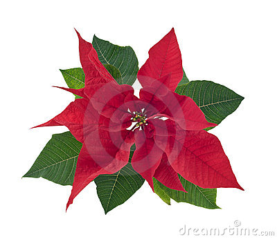 Poinsettia flower closeup cutout