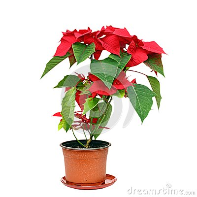 Poinsettia over white