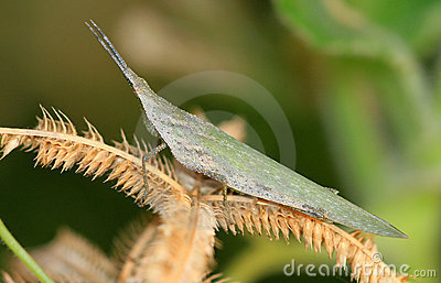 Pointed head grasshopper