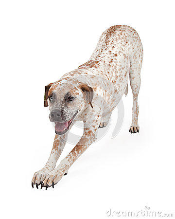 Free Pointer Crossbreed Bowing Stock Image - 45666951