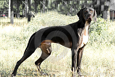 Pointer dog standing