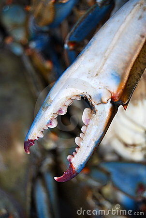 Pointy sharp Blue Crab Claw up-close