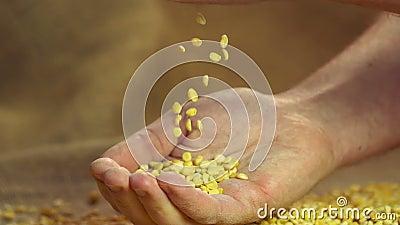 Pois fendus secs de haute qualité choisis se laissant tomber dans la main de l'agriculteur fier, au ralenti clips vidéos