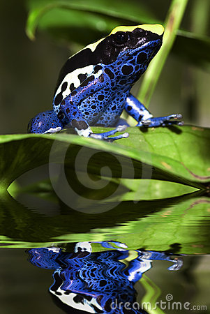 Free Poison Dart Frog Royalty Free Stock Images - 13124399