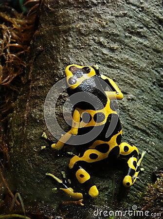 Poison Dart Frog 2138