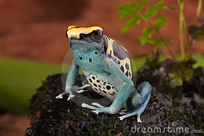 Poison dart frog with bright blue yellow colors