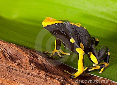 Poison dart frog bright orange on green leaf