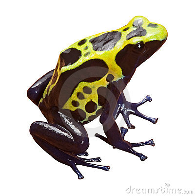 Poison dart frog isolated amphibian