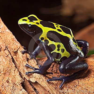 Poison dart frog poisonous animal