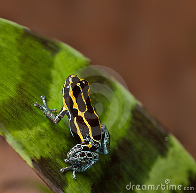 Poison dart frog poisonous animal of amazon jungle