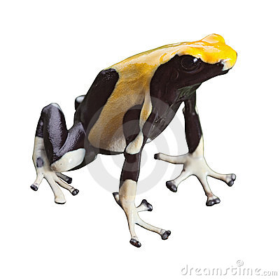 Poison dart frog poisonous animal isolated
