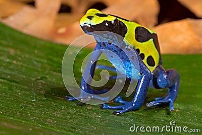 Poison dart frog vivid colors amphibian