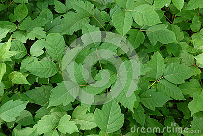 Poison ivy (disambiguation)
