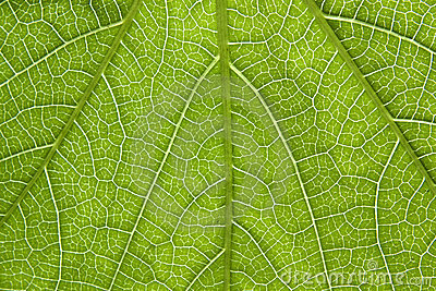 Poison ivy leaf close-up
