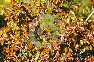 Poison Oak Bush