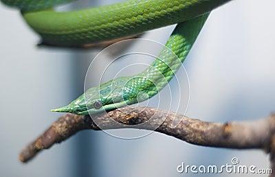 Poison snake