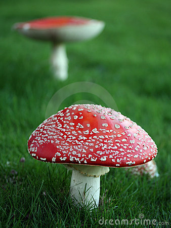 Free Poisonous Mushrooms Stock Photo - 301950