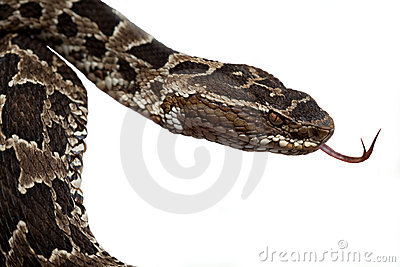 Poisonous snake or serpent rain forest reptile