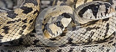 Poisonous snakes.