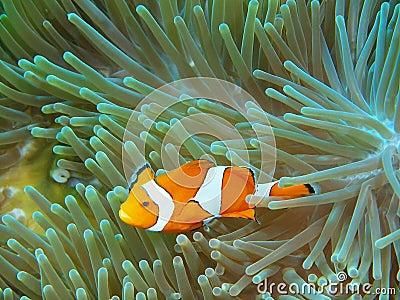 Poisson clown photo stock image 64303490 for Achat poisson clown