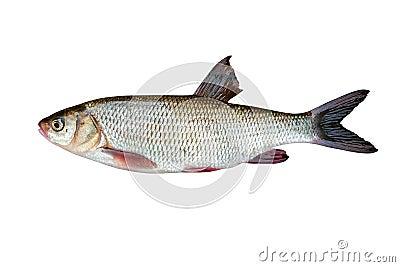 poisson d 39 eau douce photo stock image 31142060. Black Bedroom Furniture Sets. Home Design Ideas