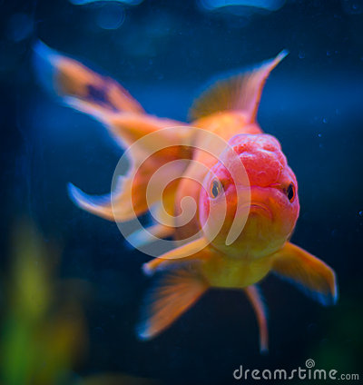 Poisson rouge d 39 oranda photo stock image 43093218 for Achat de poisson rouge