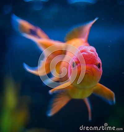 Poisson rouge d 39 oranda photo stock image 43093218 for Achat d un poisson rouge