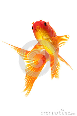 Poisson rouge rouge image stock image 28982541 for Poisson rouge achat