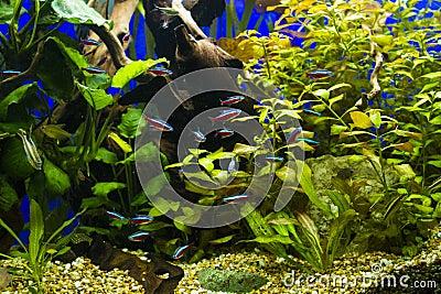 poissons cardinaux dans l 39 aquarium d 39 eau douce image libre de droits image 36184706. Black Bedroom Furniture Sets. Home Design Ideas