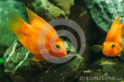 Poissons d 39 aquarium poisson rouge photo stock image for Achat de poisson rouge