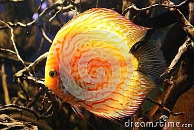 poissons exotiques d 39 aquarium photo libre de droits image 36491075. Black Bedroom Furniture Sets. Home Design Ideas