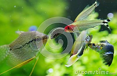poissons exotiques dans l 39 aquarium d 39 eau douce photo stock image 38973122. Black Bedroom Furniture Sets. Home Design Ideas