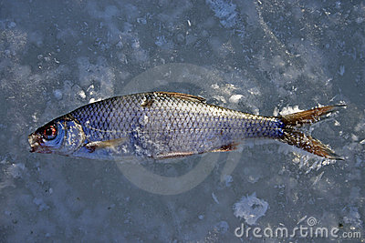 Poissons froids