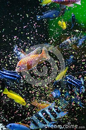 Poissons mangeant de la nourriture de flocons photos for Nourriture de poisson