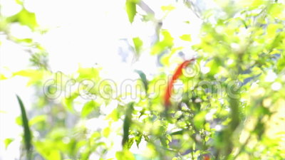 Poivre de piments rouge épicé organique visuel de Cayenne mûr sur l'usine Contraste rouge sur le fond végétal vert Poivron L annu clips vidéos