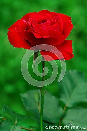 Pojedyncza czerwieni róża