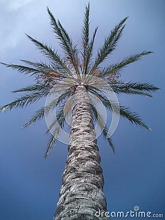Pojedyncze drzewo dłonie