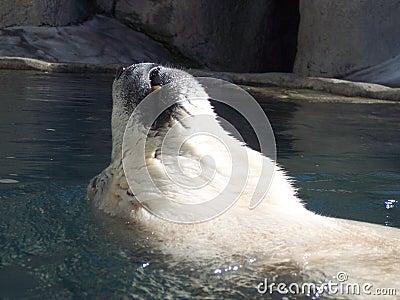 Polar backfloatbjörn