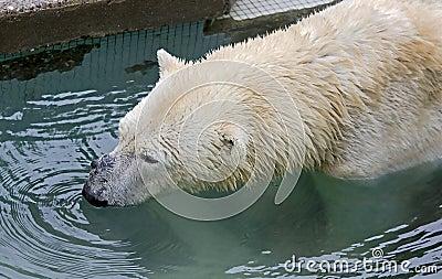 Polar bear 15