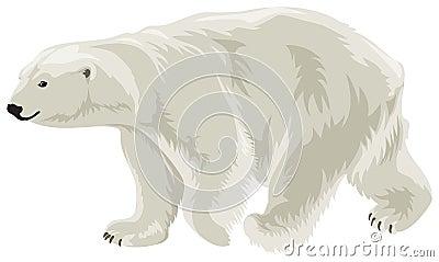 Polar Bear in